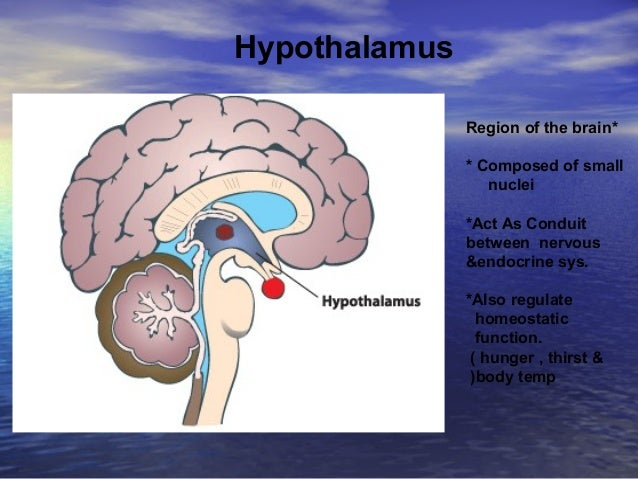 Hypothalamus *Region of the brain * Composed of small nuclei *Act As Conduit between nervous &endocrine sys. *Also regulat...
