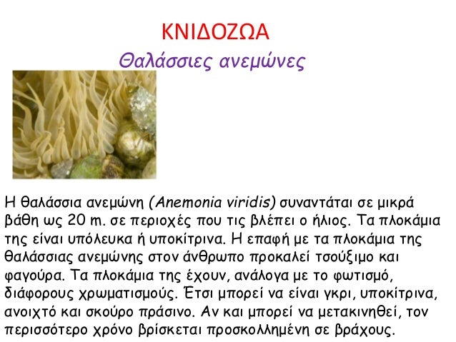 ΚΝΙΔΟΖΩΑ Θαλάσσιες ανεμώνες Η θαλάσσια ανεμώνη (Anemonia viridis) συναντάται σε μικρά βάθη ως 20 m. σε περιοχές που τις βλ...
