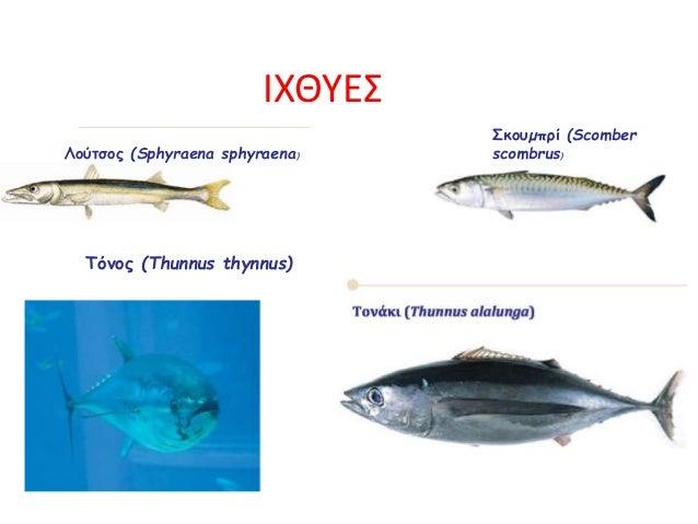 Σκουµπρί (Scomber scombrus)Λούτσος (Sphyraena sphyraena) Τόνος (Thunnus thynnus) ΙΧΘΥΕΣ