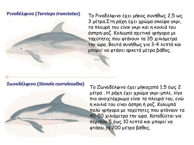 Το Ρινοδέλφινο έχει μήκος συνήθως 2,5 ως 3 μέτρα.Στη ράχη έχει χρώμα σκούρο γκρι, τα πλευρά του είναι γκρι και η κοιλιά το...