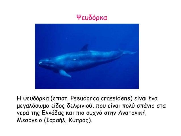 Ψευδόρκα H ψευδόρκα (επιστ. Pseudorca crassidens) είναι ένα μεγαλόσωμο είδος δελφινιού, που είναι πολύ σπάνιο στα νερά της...