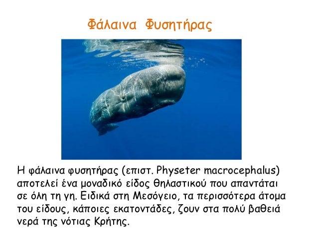 Φάλαινα Φυσητήρας Η φάλαινα φυσητήρας (επιστ. Physeter macrocephalus) αποτελεί ένα μοναδικό είδος θηλαστικού που απαντάται...