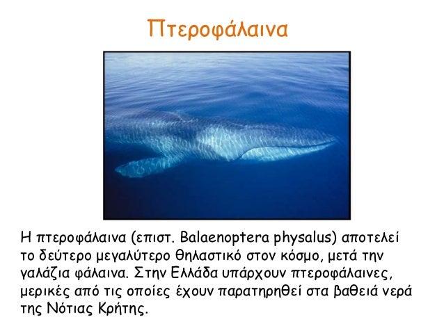 Πτεροφάλαινα Η πτεροφάλαινα (επιστ. Balaenoptera physalus) αποτελεί το δεύτερο μεγαλύτερο θηλαστικό στον κόσμο, μετά την γ...