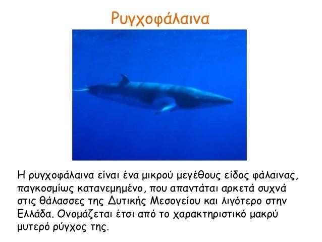 Ρυγχοφάλαινα Η ρυγχοφάλαινα είναι ένα μικρού μεγέθους είδος φάλαινας, παγκοσμίως κατανεμημένο, που απαντάται αρκετά συχνά ...