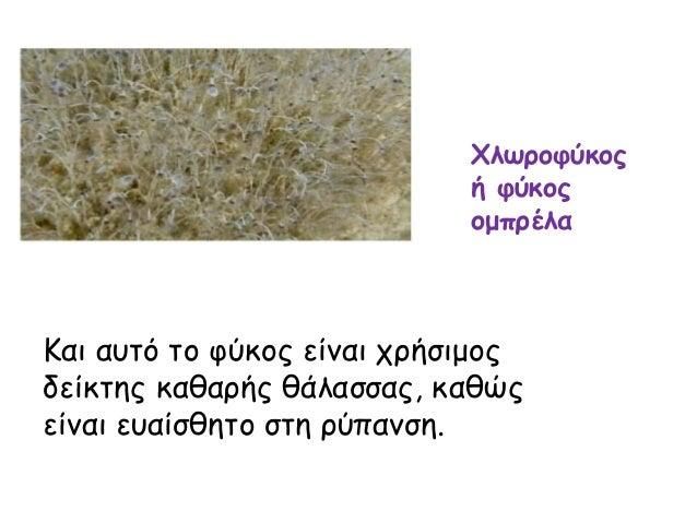 Χλωροφύκος ή φύκος ομπρέλα Και αυτό το φύκος είναι χρήσιμος δείκτης καθαρής θάλασσας, καθώς είναι ευαίσθητο στη ρύπανση.