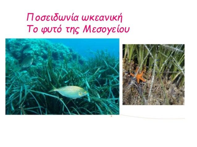 Ποσειδωνία ωκεανική Το φυτό της Μεσογείου