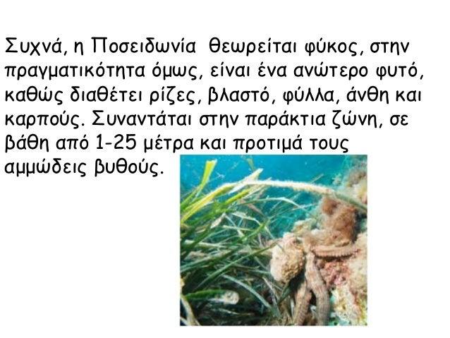 Συχνά, η Ποσειδωνία θεωρείται φύκος, στην πραγματικότητα όμως, είναι ένα ανώτερο φυτό, καθώς διαθέτει ρίζες, βλαστό, φύλλα...