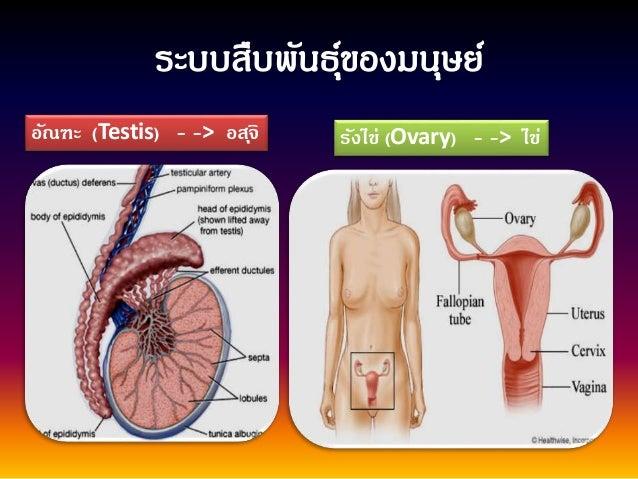อัณฑะ (Testis) - -> อสุจิ รังไข่ (Ovary) - -> ไข่