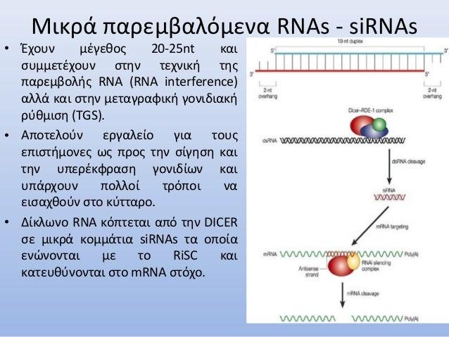 • Έχουν μέγεθος 20-25nt και συμμετέχουν στην τεχνική της παρεμβολής RNA (RNA interference) αλλά και στην μεταγραφική γονιδ...
