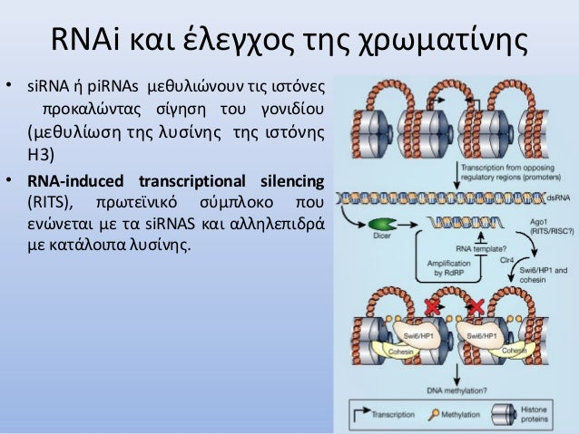 RNAi και έλεγχος της χρωματίνης • siRNA ή piRNAs μεθυλιώνουν τις ιστόνες προκαλώντας σίγηση του γονιδίου (μεθυλίωση της λυ...