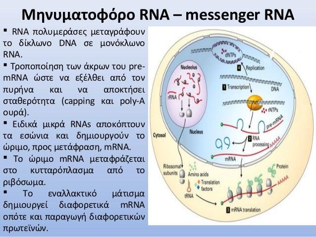 Μηνυματοφόρο RNA – messenger RNA  RNA πολυμεράσες μεταγράφουν το δίκλωνο DNA σε μονόκλωνο RNA.  Τροποποίηση των άκρων το...