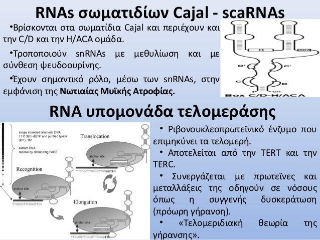 RNAs σωματιδίων Cajal - scaRNAs •Βρίσκονται στα σωματίδια Cajal και περιέχουν και την C/D και την H/ACA ομάδα. •Τροποποιού...