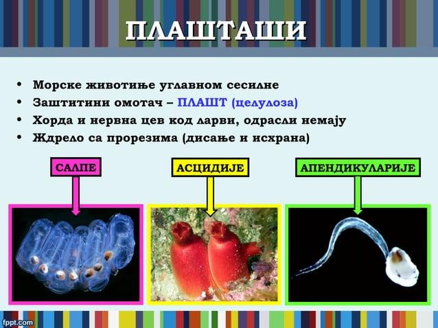 ПЛАШТАШИПЛАШТАШИ • Морске животиње углавном сесилне • Заштитини омотач – ПЛАШТ (целулоза) • Хорда и нервна цев код ларви, ...