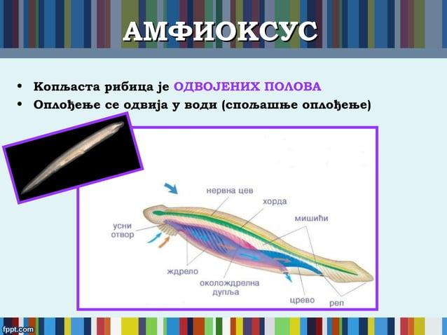 АМФИОКСУСАМФИОКСУС • Копљаста рибица је ОДВОЈЕНИХ ПОЛОВА • Оплођење се одвија у води (спољашње оплођење)