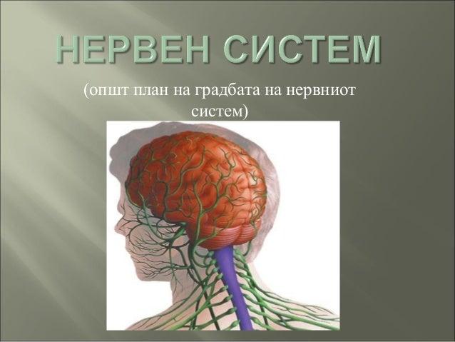 (општ план на градбата на нервниот систем)
