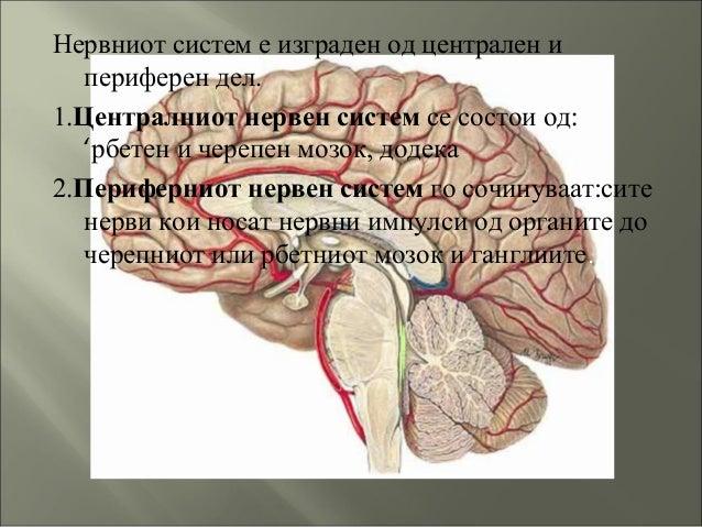 Нервниот систем е изграден од централен и периферен дел. 1.Централниот нервен систем се состои од: 'рбетен и черепен мозок...