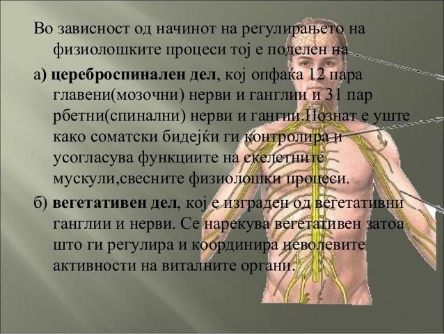 Во зависност од начинот на регулирањето на физиолошките процеси тој е поделен на а) цереброспинален дел, кој опфаќа 12 пар...