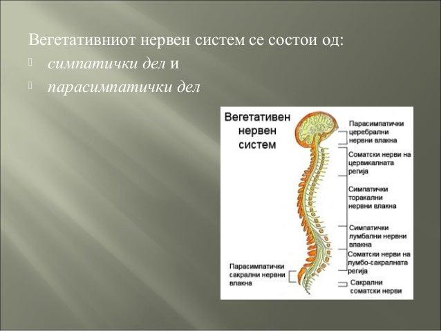 Вегетативниот нервен систем се состои од:  симпатички дел и  парасимпатички дел