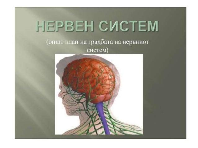 НЕРВЕН СИСТЕМ -ПОДЕЛБА Нервниот систем има улога да координира, контролира и ги регулира функциите на органите, а со тоа и...