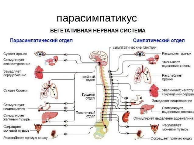 парасимпатикус