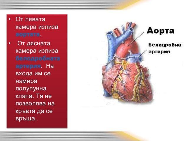 Сърцето е изградено от три слоя: • - най-вътрешен – ендокард- изграден е от епител • - среден- миокард- той е мускулест • ...