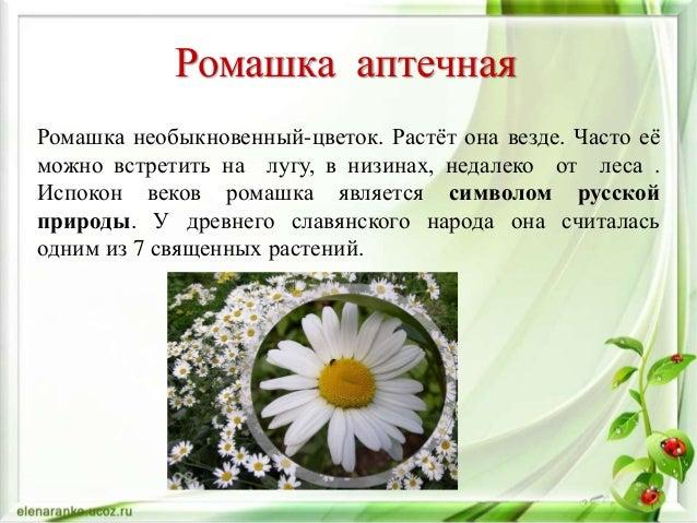 Лекарственные растения ромашка