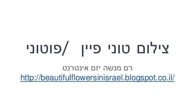 צילוםטוניפיין/פוטוני רםמנשהיזםאינטרנט http://beautifulflowersinisrael.blogspot.co.il/