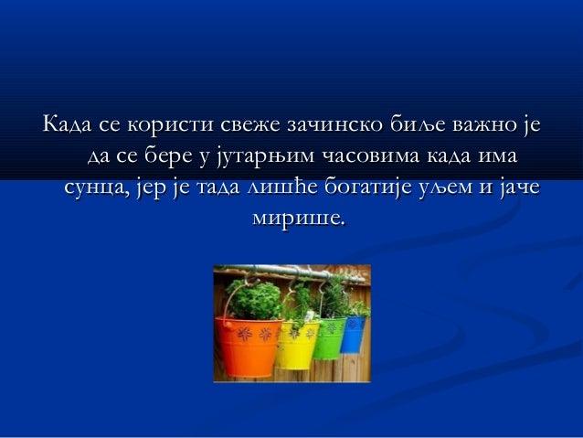 Зачинске биљке могу бити у свежем илиЗачинске биљке могу бити у свежем или сушеном облику.сушеном облику.
