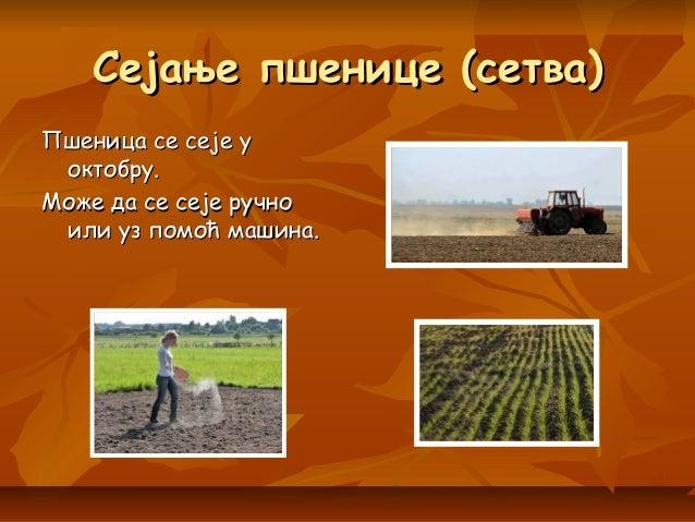 Сејање пшенице (сетва)Сејање пшенице (сетва) Пшеница се сеје уПшеница се сеје у октобру.октобру. Може да се сеје ручноМоже...