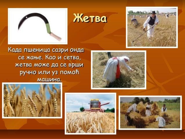 ЖетваЖетва Када пшеница сазри ондаКада пшеница сазри онда се жање. Као и сетва,се жање. Као и сетва, жетва може да се врши...