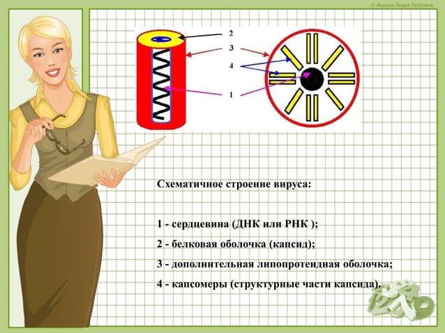 © Фокина Лидия Петровна Схематичное строение вируса: 1 - сердцевина (ДНК или РНК ); 2 - белковая оболочка (капсид); 3 - до...