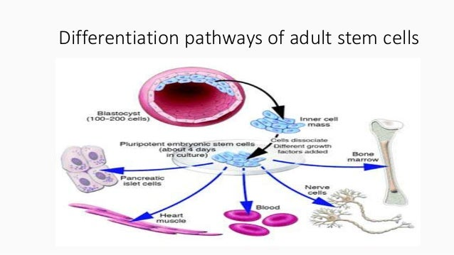 potential of adult stem cells Human mesenchymal stem cells are thought to be multipotent cells, which are present in adult marrow, that can replicate as undifferentiated cells and that have the potential to differentiate.