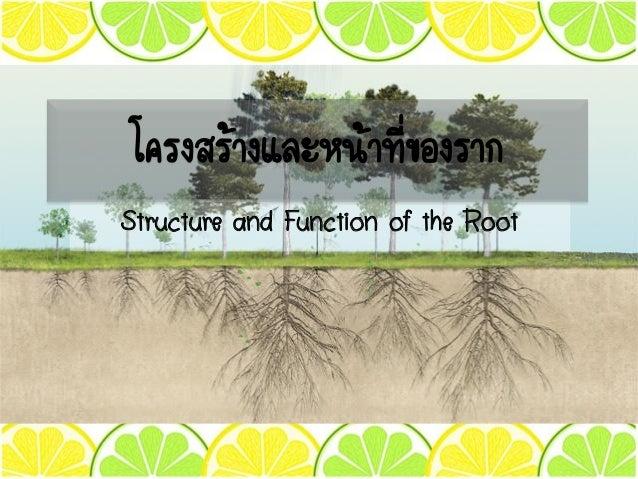 Structure and Function of the Root โครงสร้างและหน้าที่ของราก