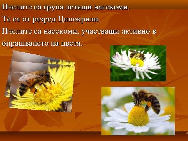 Пчелите - Калуди Slide 2