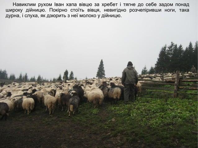 Навиклим рухом Іван хапа вівцю за хребет і тягне до себе задом понад широку дійницю. Покірно стоїть вівця, невигідно розче...