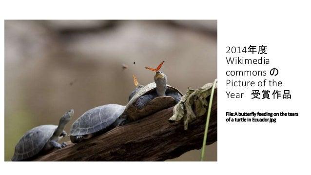 2014年度 Wikimedia commons の Picture of the Year 受賞作品 File:A butterfly feeding on the tears of a turtle in Ecuador.jpg