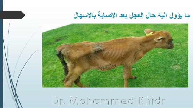 باالسهال االصابة بعد العجل حال اليه يؤول ما Dr. Mohammed Khidr