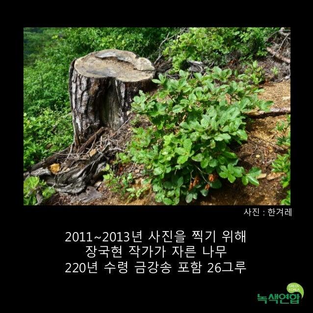 2011~2013년 사진을 찍기 위해 장국현 작가가 자른 나무 220년 수령 금강송 포함 26그루 사진 : 한겨레