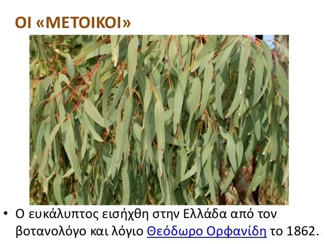 • Ο ευκάλυπτος εισήχθη στην Ελλάδα από τον βοτανολόγο και λόγιο Θεόδωρο Ορφανίδη το 1862. ΟΙ «ΜΕΤΟΙΚΟΙ»