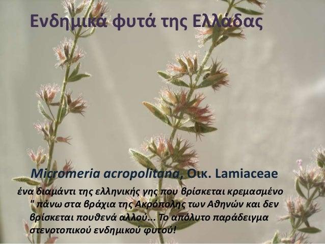 Ενδημικά φυτά της Ελλάδας Micromeria acropolitana, Οικ. Lamiaceae ένα διαμάντι της ελληνικής γης που βρίσκεται κρεμασμένο ...