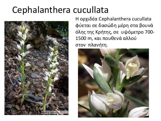 Cephalanthera cucullata Η ορχιδέα Cephalanthera cucullata φύεται σε δασώδη μέρη στα βουνά όλης της Κρήτης, σε υψόμετρο 700...