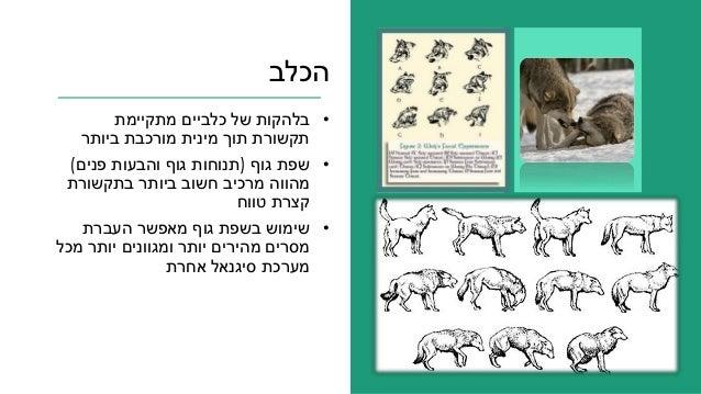הכלב •מתקיימת כלביים של בלהקות ביותר מורכבת מינית תוך תקשורת •גוף שפת(פנים והבעות גוף תנוחו...