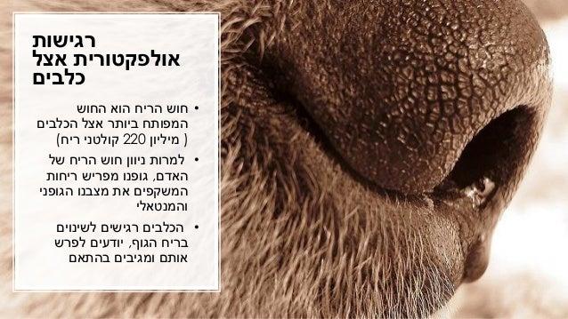רגישות אצל אולפקטורית כלבים •החוש הוא הריח חוש הכלבים אצל ביותר המפותח (מיליון220ריח קולטני)...