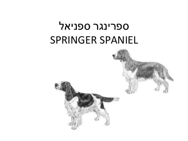 ספרינגרספניאל SPRINGER SPANIEL
