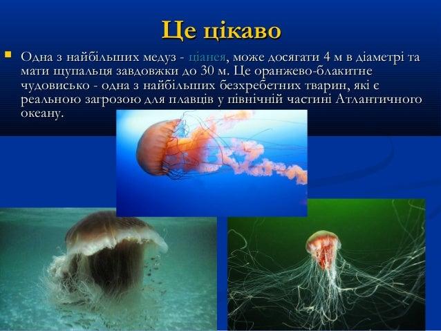 Це цікавоЦе цікаво  Одна з найбільших медуз -Одна з найбільших медуз - ціанеяціанея, може досягати 4 м в діаметрі та, мож...
