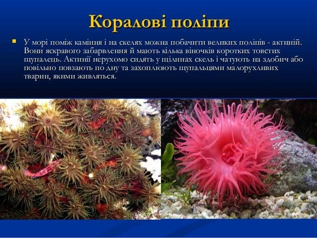 Коралові поліпиКоралові поліпи  У морі поміж каміння і на скелях можна побачити великих поліпів - актиній.У морі поміж ка...