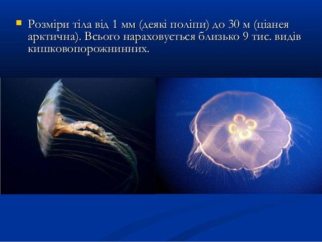  Розміри тіла від 1 мм (деякі поліпи) до 30 м (ціанеяРозміри тіла від 1 мм (деякі поліпи) до 30 м (ціанея арктична). Всьо...