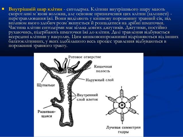  Внутрішній шар клітинВнутрішній шар клітин - ентодерма. Клітини внутрішнього шару мають- ентодерма. Клітини внутрішнього...