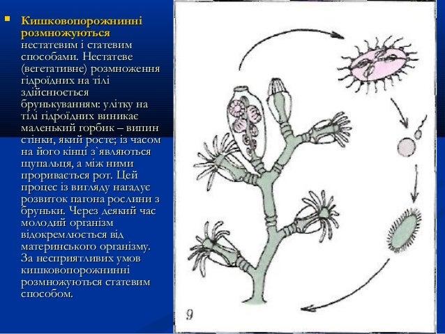  КишковопорожнинніКишковопорожнинні розмножуютьсярозмножуються нестатевим і статевимнестатевим і статевим способами. Нест...