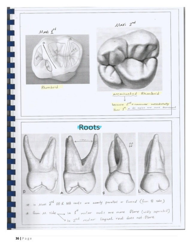 Concise Dental Anatomy And Morphology Gallery - human body anatomy